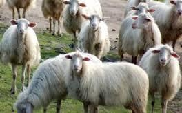 pecore2